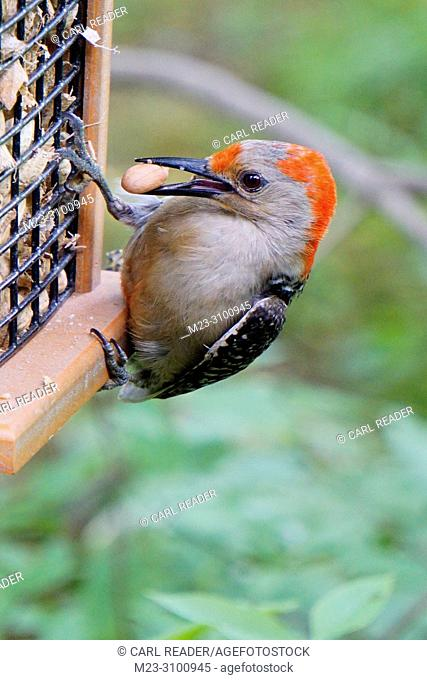 A juvenile red-bellied woodpecker, Melanerpes carolinus, grabs a peanut at a feeder, Pennsylvania, USA