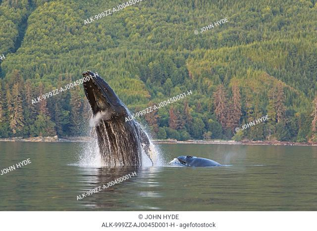 A Humpback Whale and her calf breaches from the calm waters of Frederick Sound with Admiralty Island in the distance, Tongass National Foerst, Inside Passage