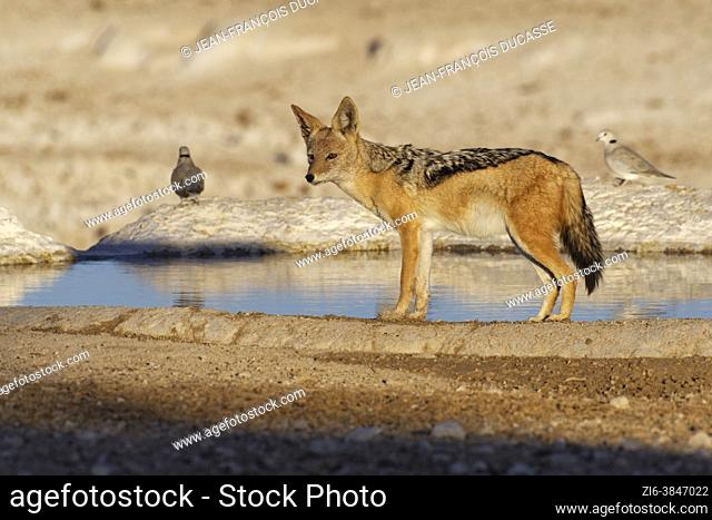 Black-backed jackal (Canis mesomelas) observing the surroundings at the waterhole in the evening sun, two ring-necked doves (Streptopelia capicola) at back