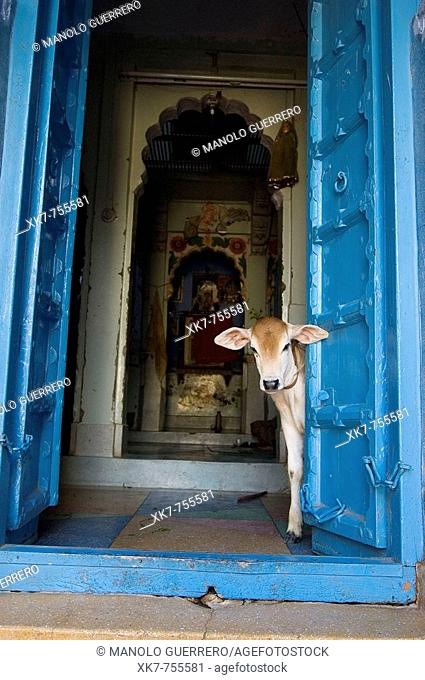 Calf in a little Hindu temple, Jodhpur, India