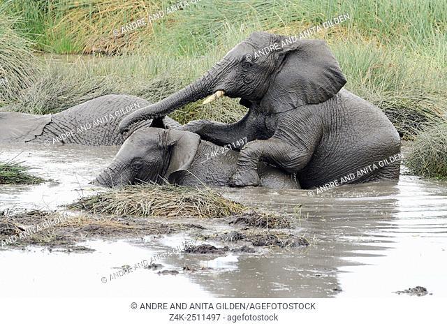 African Elephants (Loxodonta africana) playing in mud and water at Ndutu marsh, serengeti national park, Tanzania
