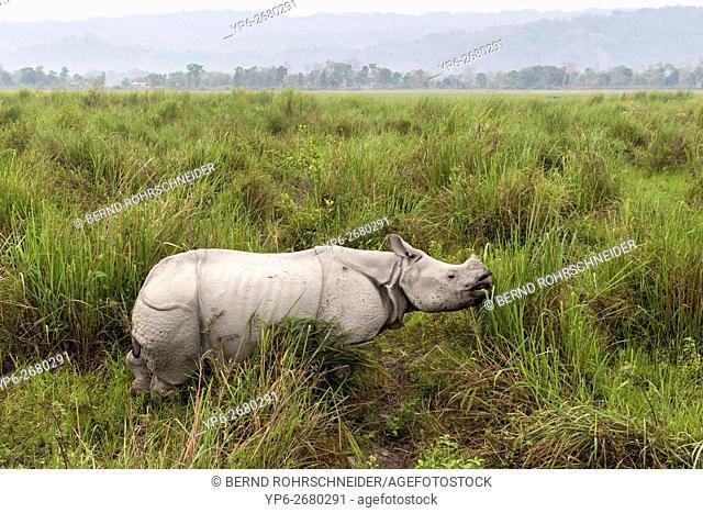 Indian rhinoceros (Rhinoceros unicornis), female standing in elephant grass, threatened species, Kaziranga National Park, Assam, India