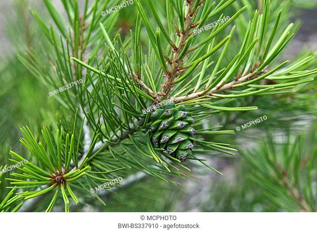 lacebark pine (Pinus bungeana), branch with young cone