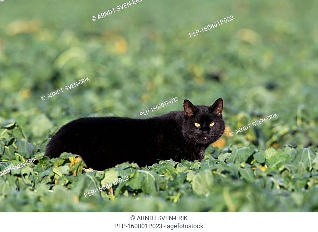 Black domestic cat hunting in field among crops in farmland