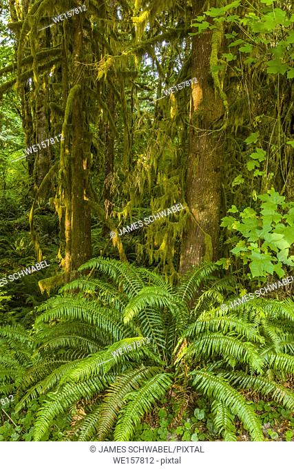 Big Ferns on Hall of Mosses Trail in the Hoh Rain Forest iin Olypmic National Park in Washington State in the United States