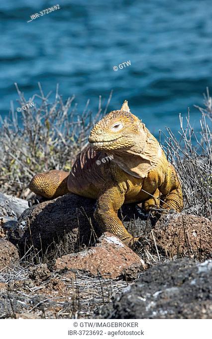 Galapagos Land Iguana (Conolophus subcristatus), Seymour Norte, Galápagos Islands, Ecuador