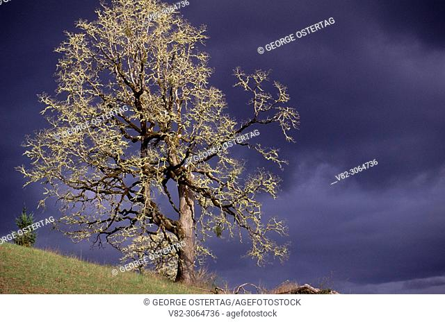 Oak sunlit in storm, Yamhill County, Oregon