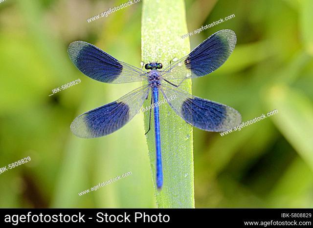 Banded demoiselle (Calopteryx splendens), male with dew drops sitting on a leaf, North Rhine-Westphalia, Germany, Europe
