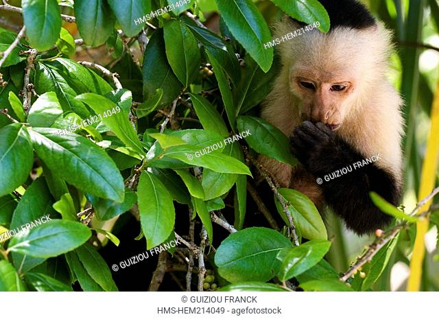 Costa Rica, Limon Province, Caribbean coast, Cahuita National Park, white-faced Capuchin Monkey Cebus capucinus