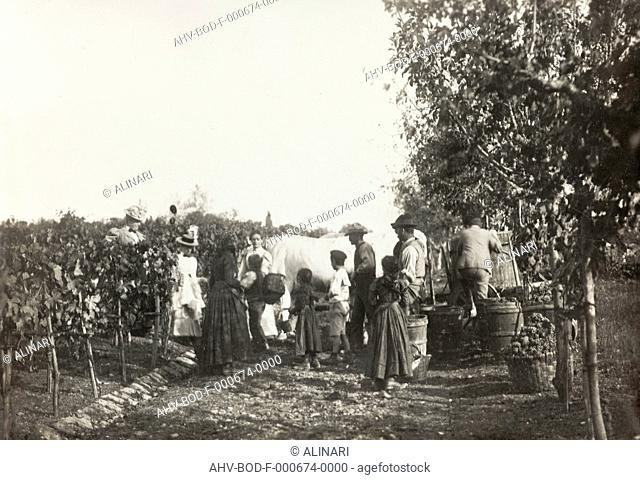 Grape Harvesting, shot 1900-1910