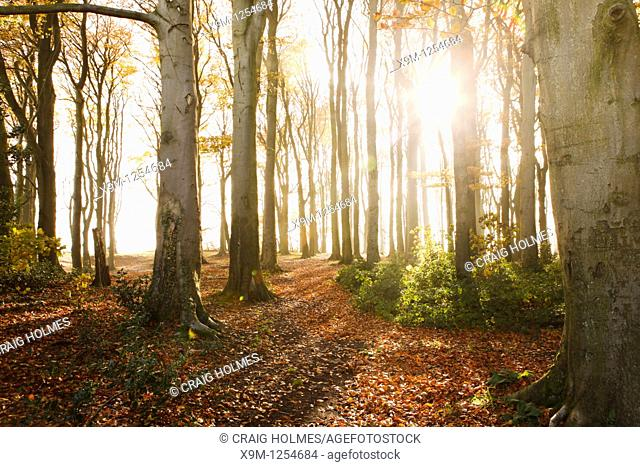 Beech trees in a wooded area, sunlight coming through trees in Autumn