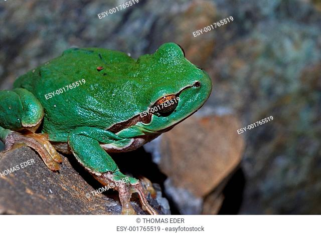 green frog is looking