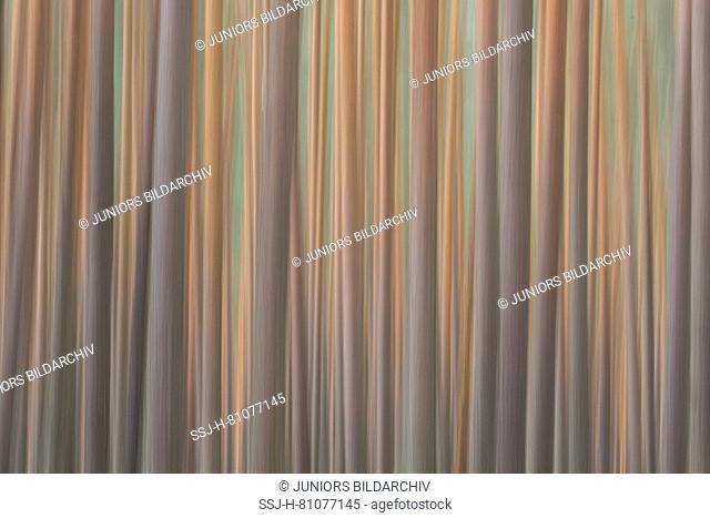 Scots Pine (Pinus sylvestris), forest. Saxony, Germany