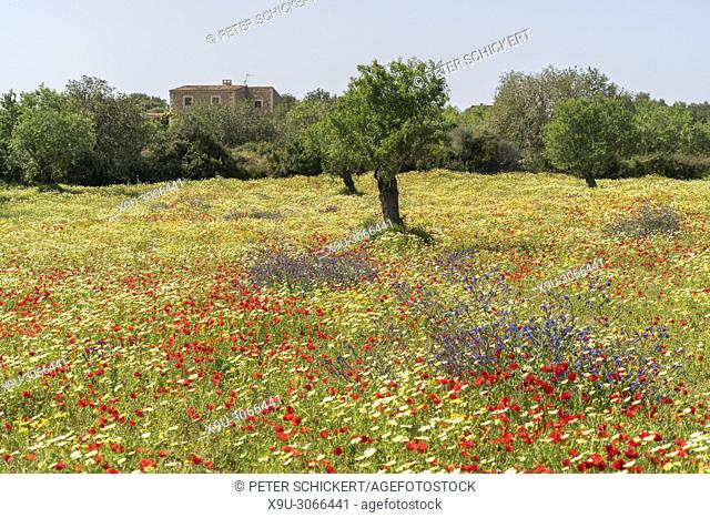 Spring meadow with colourful flowers, Majorca, Balearic Islands, Spain