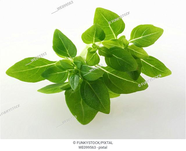 Fresh Greek Basil leaves