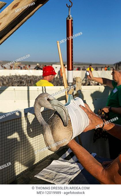 Greater Flamingo - an apparently relaxed immature is weighed during a medical check and the ringing procedure - at the Laguna de Fuente de Piedra near the town...