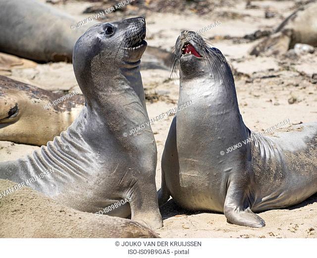 Male Northern elephants seals (mirounga angustirostris) sparring, Ano Nuevo State Park, Pescadero, California, United States, North America