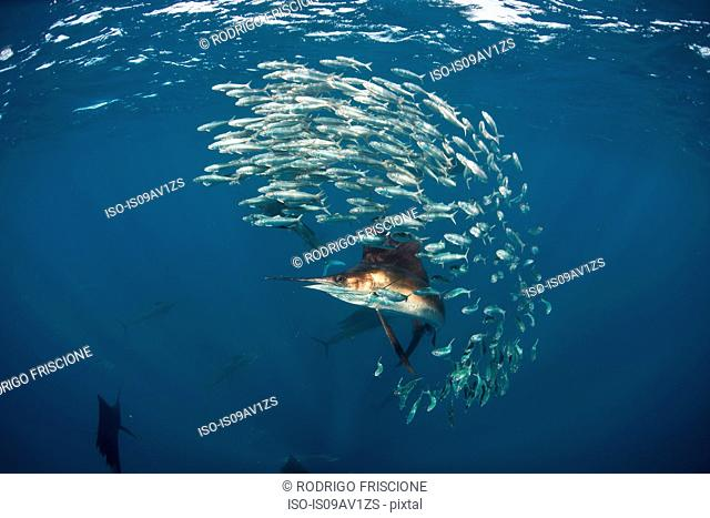 Underwater view of Atlantic sailfish chasing sardine baitball, Isla Contoy, Mexico