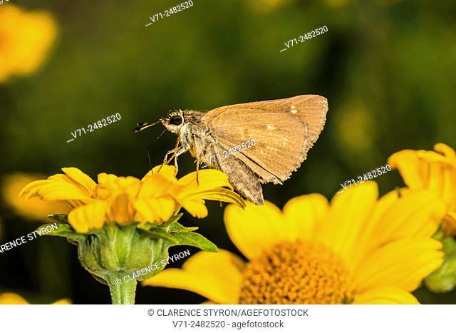 Broad-winged Skipper (Poanes viator) Feeding on False Sunflower (Heliopsis helianthoides)