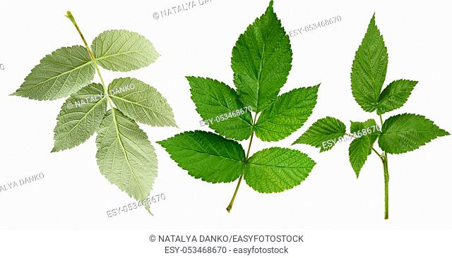set of green leaves and raspberry branches isolated on a white background, close up