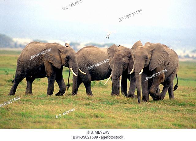 African elephant (Loxodonta africana), herd of elephants, Kenya, Amboseli National Park