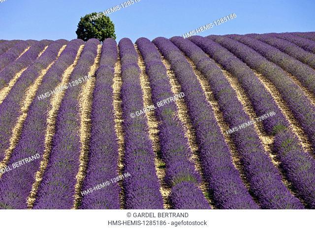 France, Alpes de Haute Provence, Parc Naturel Regional du Verdon (Natural Regional Park of Verdon), Valensole Plateau, lavender fields