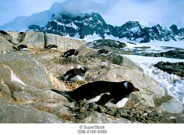 ANTARCTICA, PORT LOCKROY, GENTOO PENGUINS INCUBATING EGGS