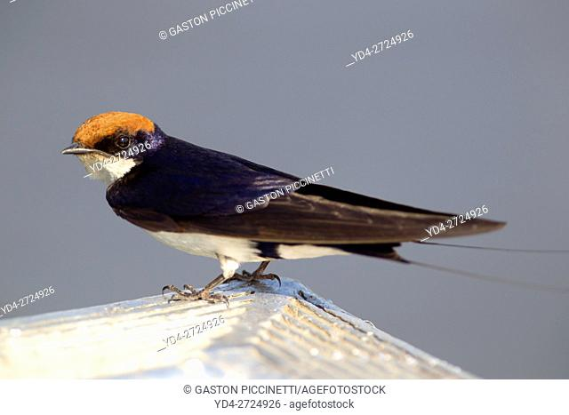 Greater striped swallow (Hirundo cucullata), on the bow of the boat, Chobe river, Chobe National Park, Botswana