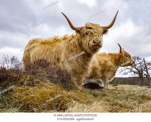 Scotland Cairngorms National Park Highland Cattle