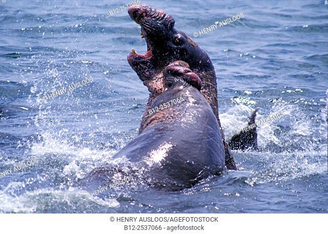Northern Elephant Seal - Mirounga angustirostris - California - USA