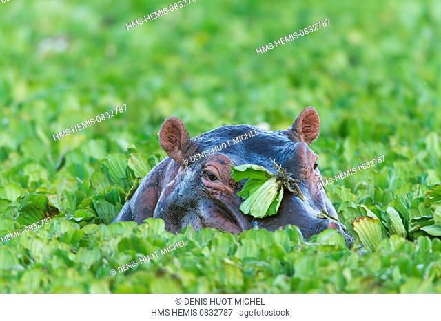 Kenya, Masai Mara National Reserve, Hippopotamus, Hippopotamus amphibius, male in water lettuces