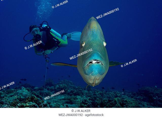 Oceania, Palau, Napoleon fish, Cheilinus undulatus and diver
