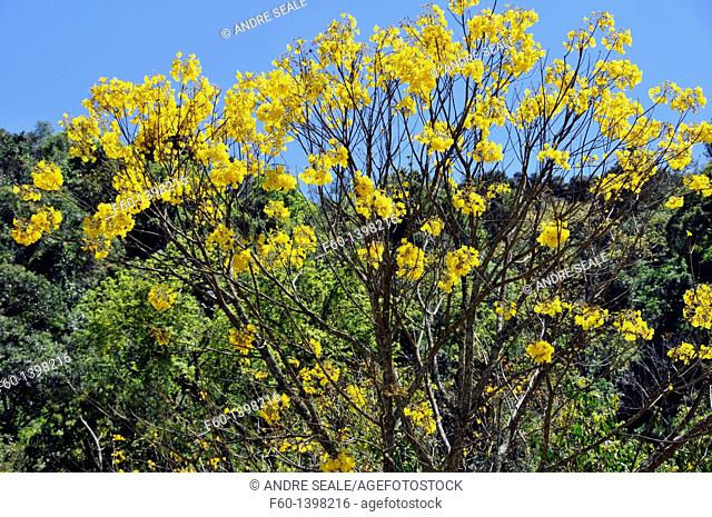 Flowering Trumpet tree or yellow ipe, Tabebuia chrysotricha, Brazil's symbolic tree, Gramado, Rio Grande do Sul, Brazil