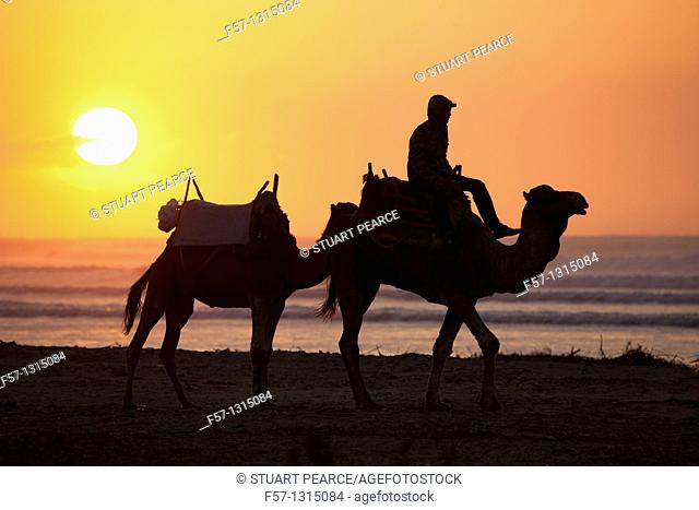 Camels on Essaouira Beach, Morocco