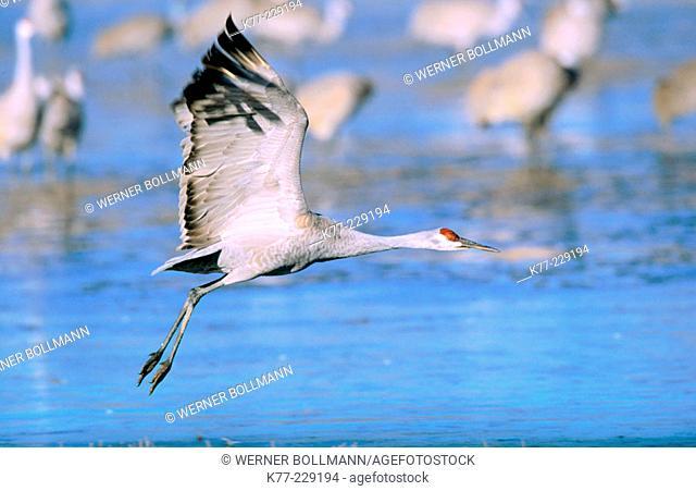 Sandhill Crane (Grus canadensis). Bosque del Apache National Wildlife Refuge. New Mexico. USA