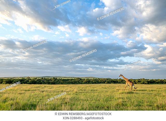 Masai giraffe (Giraffa camelopardalis tippelskirchii) in a field in Maasai Mara National Reserve, Kenya