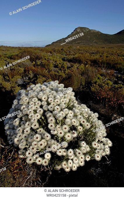 Wildflowers growing on a landscape, Cape Peninsula National Park, Cape Town, Western Cape Province, South Africa