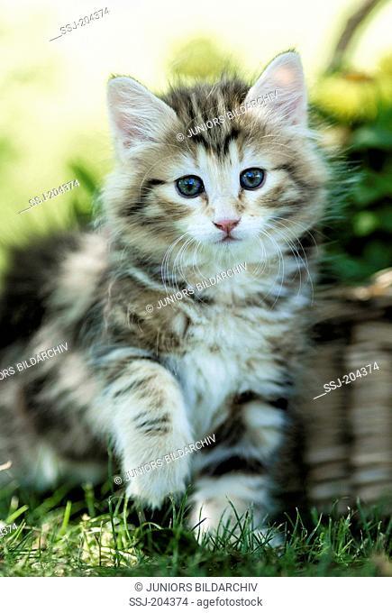 Norwegian Forest Cat. Tabby kitten sitting next to a wicker basket. Germany