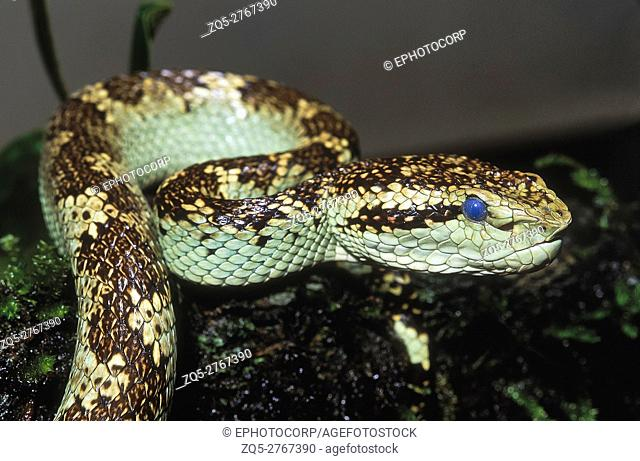 Trimeresurus malabaricus MALABAR PIT VIPER. Venomous. Fore body of predominantly jade-green individual. Note bluish cast on eyes - a condition seen prior to...