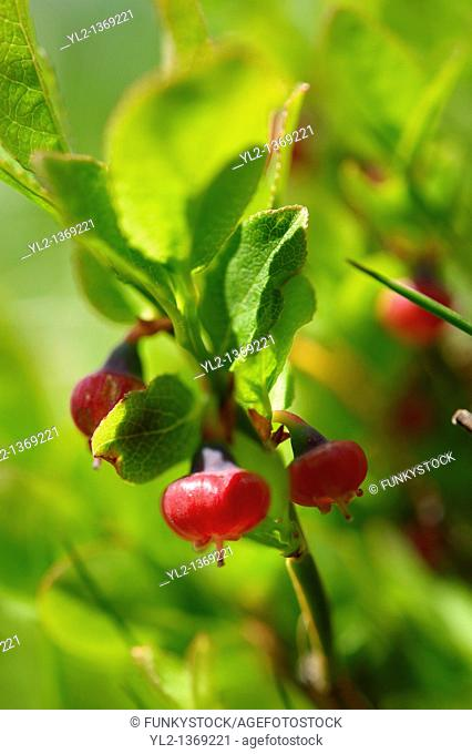 Alpine Bilberry or Whortleberry  Vaccinium myrtillus   Bernese Alps, Switzerland