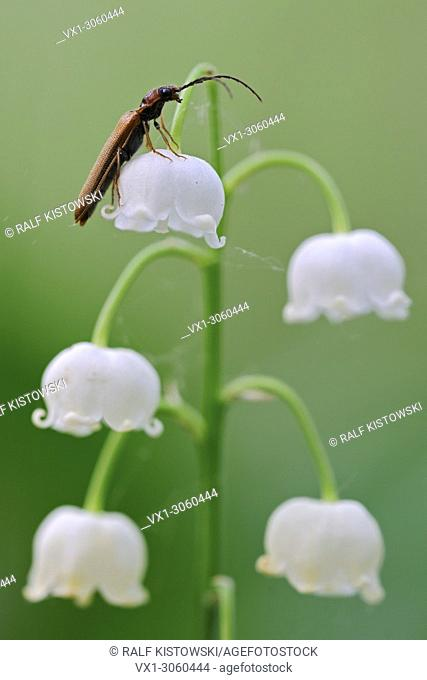 Lily of the Valley ( Convallaria majalis ), flowering, with Red Longhorn Beetle ( Stictoleptura rubra ), Europe