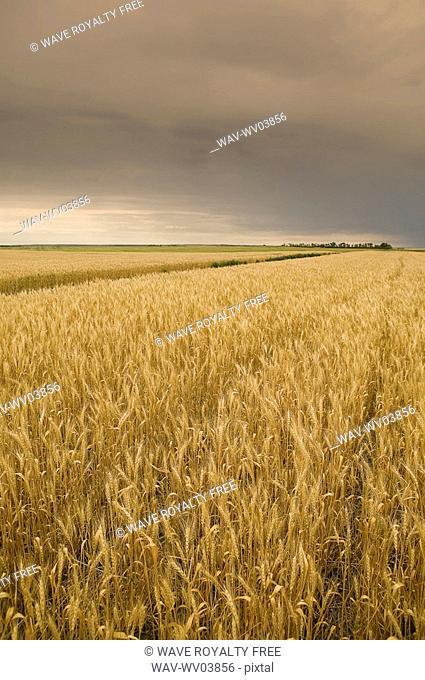 Wheat ready for swathing, Regina, Saskatchewan, Canada