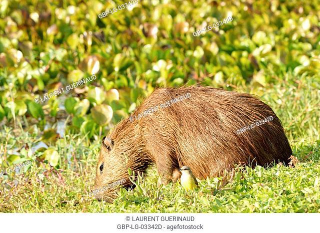 Animal, Capybara, Pantanal, Mato Grosso do Sul, Brazil