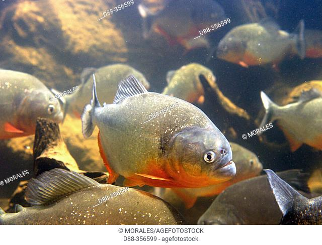 Red-bellied Piranha (Pygocentrus nattereri). Venezuela