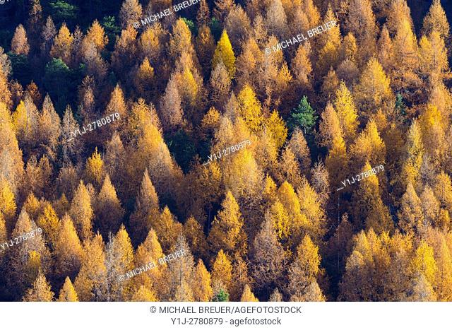 Larches in Autumn, Larix laricina, Gran Paradiso National Park, Italy, Europe
