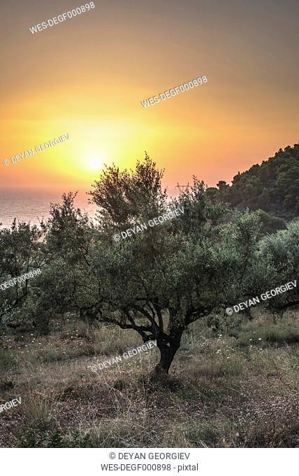 Greece, Kalamata, olive trees, sea and sunset