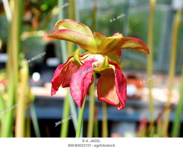 Sweet Pitcher Plant (Sarracenia rubra), flower