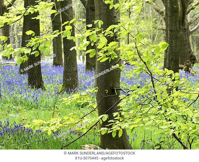 Spring Foliage and Bluebells in Hollybank Wood from Hollybank Lane on the Nidderdale Way near Ripley North Yorkshire England