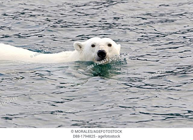 Norway , Spitzbergern , Svalbard , Polar Bear  Ursus maritimus  , swimming in search of prey  seals on pieces of ice