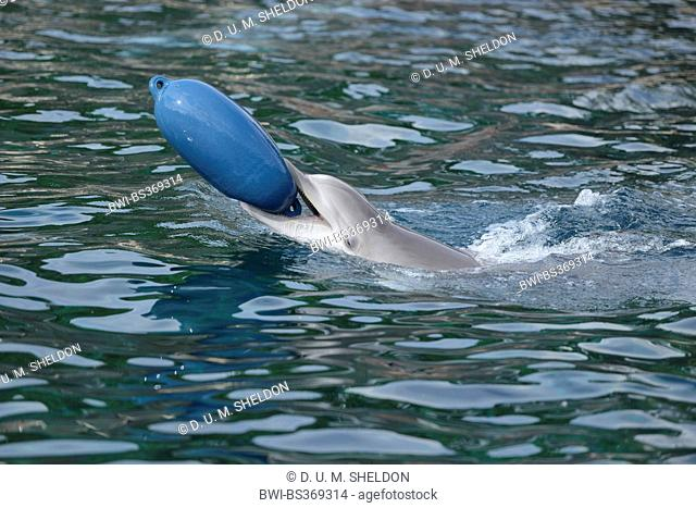 Bottlenosed dolphin, Common bottle-nosed dolphin (Tursiops truncatus), playing in the water with a buoy